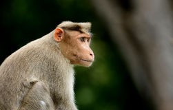 Bonnet Macaque Monkey Royalty Free Stock Photography