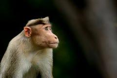 Bonnet Macaque Monkey Stock Photo
