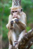 Bonnet macaque monkeys eating Royalty Free Stock Images