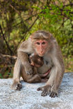 Bonnet Macaque Mother. In Mudumalai National Park, India Stock Photography