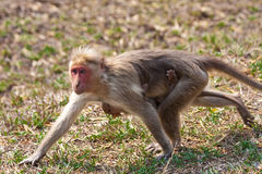 Bonnet Macaque Mother and Baby Running. In Bandipur National Park, India Royalty Free Stock Photos