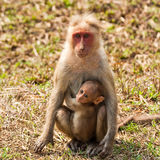 Bonnet Macaque Mother With Baby Stock Images