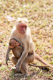 Bonnet Macaque Nursing. Bonnet macaque mother with baby in Bandipur National Park, India Royalty Free Stock Photo