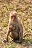 Bonnet Macaque Nursing. In Bandipur National Park, India Stock Photos