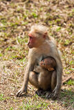 Bonnet Macaque Nursing Young. In Bandipur National Park, India Stock Photography