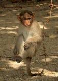 Bonnet Macaque op de draadomheining stock foto
