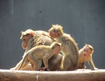 Bonnet macaque playing royalty free stock photography