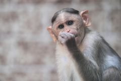Bonnet macaque. The portrait of bonnet macaque Stock Photo