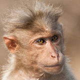 Bonnet Macaque Portrait Stock Image