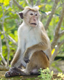 Bonnet macaque portrait full-length Stock Photos