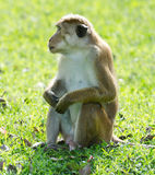 Bonnet macaque portrait full-length Stock Photo