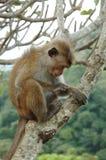 Bonnet Macaque (radiata Macaca) in tropisch bos royalty-vrije stock afbeeldingen