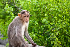 Bonnet Macaque on a Stone. Young bonnet macaque on stone at Gingee Fort in India Stock Photos