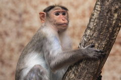 Bonnet macaque Royalty Free Stock Images
