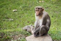 Bonnet Macaque Waiting alongside Road. A Bonnet Macaque sitting alongside the road on a rock stock photos