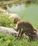 Bonnet Macaques royalty-vrije stock afbeelding