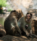 Bonnet Macaques. Photo of the Bonnet Macaque in wildlife Royalty Free Stock Photography