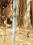 Bonnet Macaques. Young bonnet macaques on the wire fence at Gingee Fort in India Stock Image
