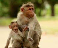 Bonnet Maqaque, Macaca-radiata, het Nationale Park van Bandipur, Karnataka, India stock fotografie