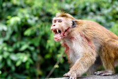 Bonnet monkey. Aggressive Bonnet monkey in Sri Lanka Stock Photo
