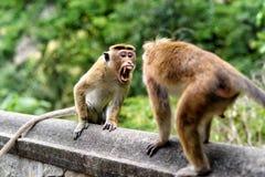 Bonnet monkey Stock Photos
