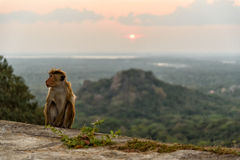 Bonnet monkey. In Sri Lanka Royalty Free Stock Photos