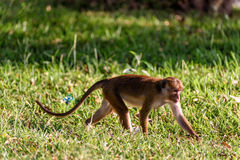 Bonnet monkey. In Sri Lanka Royalty Free Stock Images
