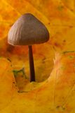 Bonnet Mushroom in Autumn Leaves. A Macro portrait of a Bonnet Mushroom in yellow Autumn leaves Stock Image