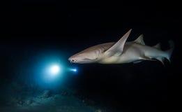 Bonnethead鲨鱼狩猎在晚上 免版税库存图片