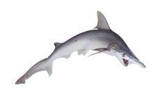 The bonnethead shark or shovelhead, Sphyrna tiburo, in profile Royalty Free Stock Images