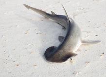 The bonnethead shark or shovelhead, Sphyrna tiburo, on a sandy b Royalty Free Stock Images