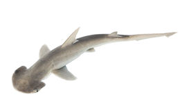 The bonnethead shark or shovelhead, Sphyrna tiburo, top view. Is Stock Photography