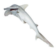 The bonnethead shark or shovelhead, Sphyrna tiburo, top view. Is Royalty Free Stock Image