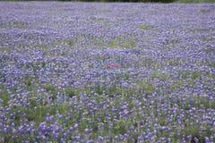 Bonnets сини Техаса Стоковые Фотографии RF