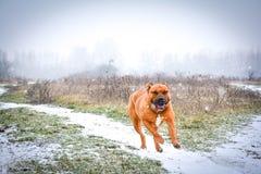 Bonnie älskar snön arkivbilder