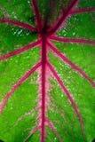 Bonnie liść Zdjęcie Stock