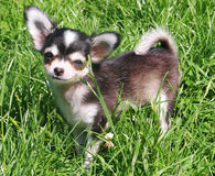 Bonny the Chihuahua Pup on Grass. Close up shot of a 4 month old Chihuahua pup called Bonny posing in grass Royalty Free Stock Image