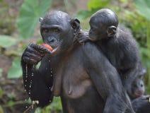 Bonobo łasowania żeński Bonobo z lisiątkiem na plecy (niecki paniscus) fotografia royalty free