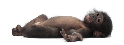 Bonobo младенца, paniscus лотка, 4 месяца старого, лежа Стоковая Фотография