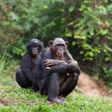 Bonobo royalty free stock photo