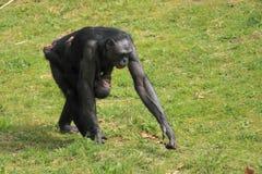 Bonobo Royalty Free Stock Photos