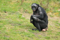 Bonobo Stock Images