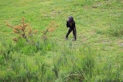 Bonobo fotografering för bildbyråer