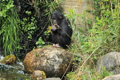 Bonobo Stockfotos