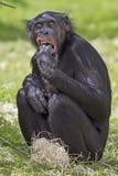 Bonobo fotografía de archivo