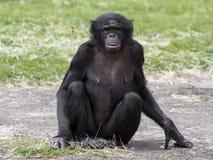 Bonobo Stockfotografie