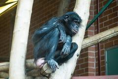Bonobo photos libres de droits