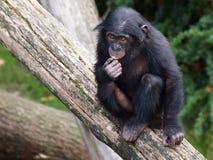 Bonobo Lizenzfreie Stockfotos