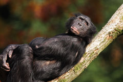bonobo Photographie stock
