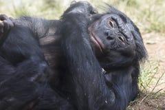 Bonobo-Affe, der auf einen grasartigen Flecken des Schmutzes legt Stockbild